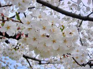 800px-Yoshino_Sakura_Tidal_Basin_DC