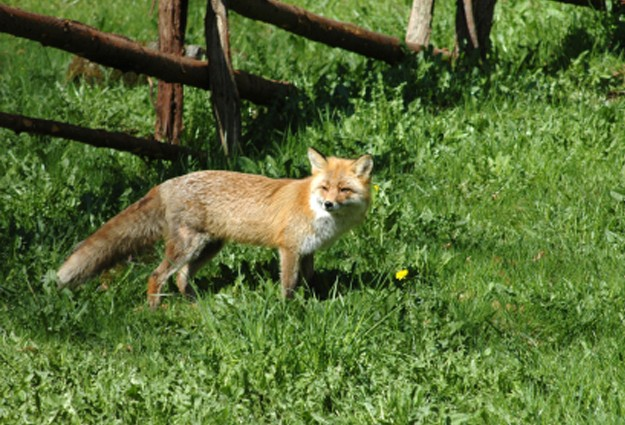 Rabid Fox Attacks Two In Hillsborough