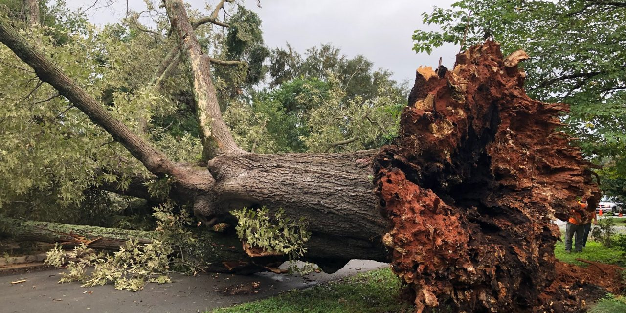 Power Restored in Hillsborough After 'Town Treasure' Tree Falls