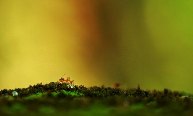 Tu for Two: Tar Heel Ants