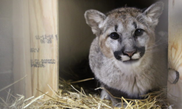 Abandoned Cougar Makes Journey From Washington to Chatham