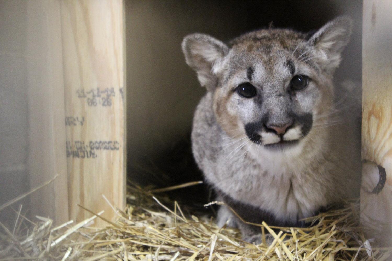 Abandoned Cougar Makes Journey From Washington to Chatham