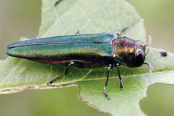 Invasive Species of Insect Discovered in Chatham County