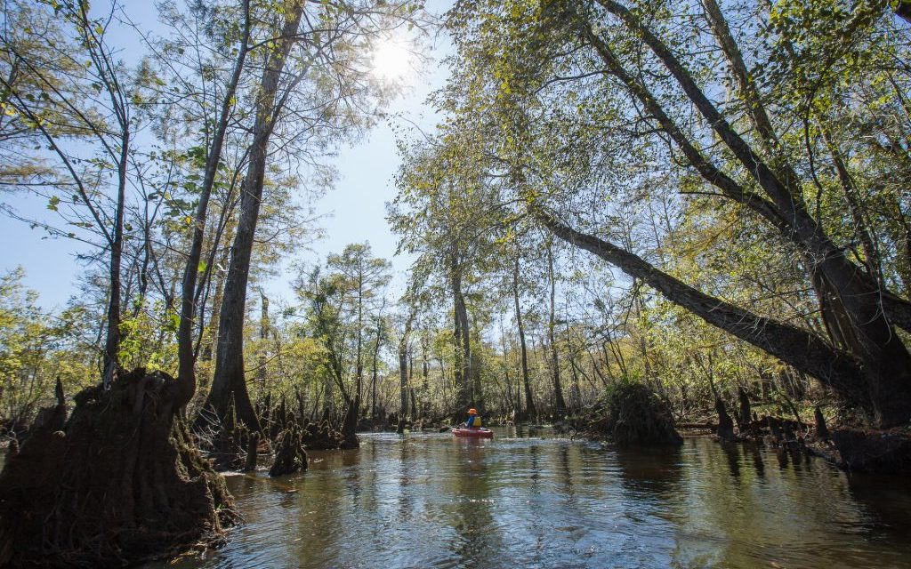 Troubled Water: Why the World's Oldest Wetland Trees Aren't in a State Park