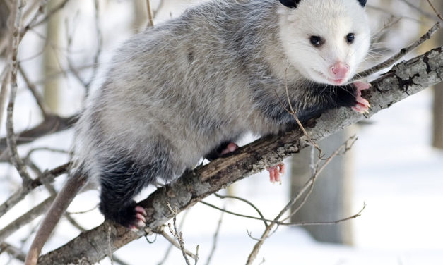 """Group Hopes to Prevent """"Opossum Dropping"""" on New Year's Eve"""