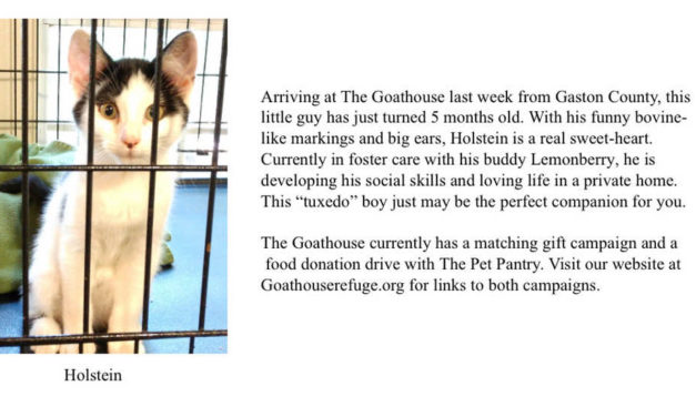 Adopt-A-Pet: Holstein from The Goathouse Refuge