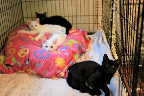 Adopt-A-Pet: Thunder, Lightning and Ebony from the Goathouse Refuge
