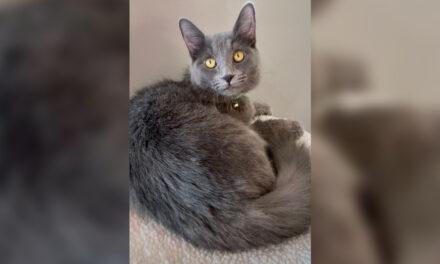 Adopt-A-Pet: Freya 2 from Cat Tales Cat Cafe