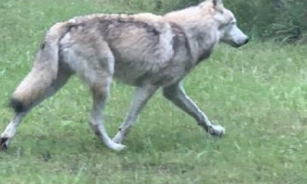 Wolf-Dog Hybrids Loose in Orange County, Trapping Efforts Underway