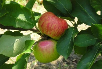 The Apple of Chatham's Eye: Residents Can Purchase Commemorative Trees