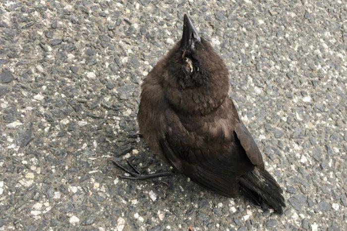 NC Wildlife Experts Alert Residents to Mysterious Songbird Illness