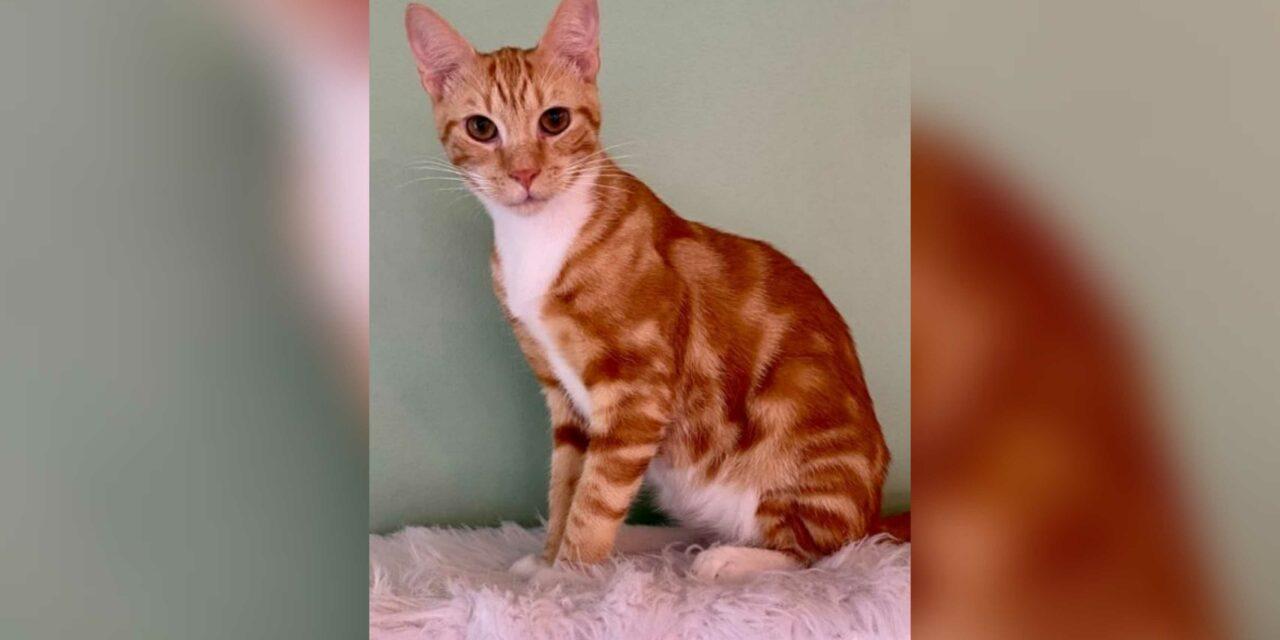 Adopt-A-Pet: Tiger